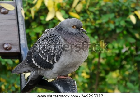 pigeon resting on a bench in city park - stock photo