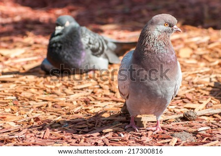pigeon sitting, front view - stock photo