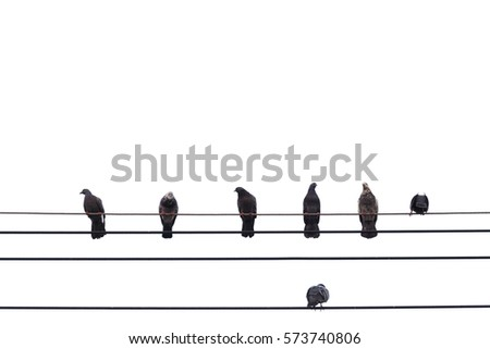 pigeon sitting on power lines isolated on white background with clipping path