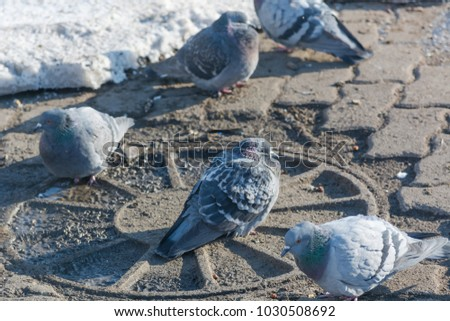 Pigeons are heated in the winter. Birds are warming themselves in the winter. Many pigeons sit in the winter and bask. Many birds.