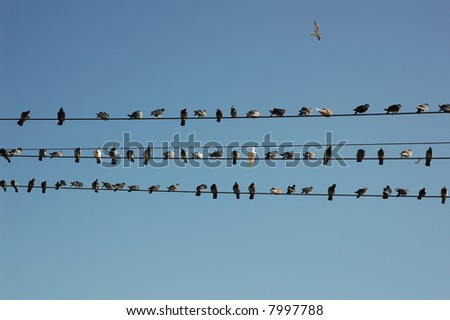 pigeons on wire + one alone