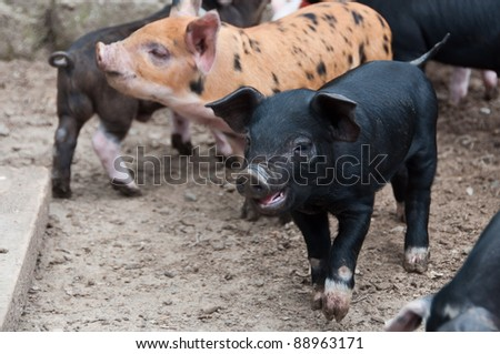 Piglets roaming around pig pen - stock photo