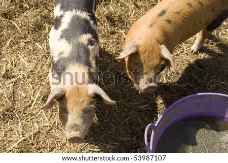 Pigs at feeding time - stock photo
