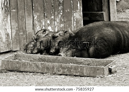 pigs at the trough sleep - stock photo