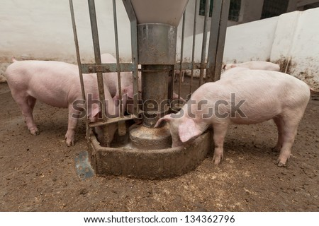 Pigs during feeding - stock photo