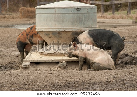 Pigs eating chow in a muddy pin at an agricultural farm