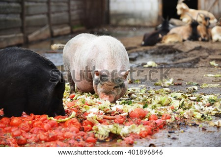 pigs eating from  feeding trough in  zoo
