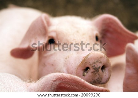 pigs in stable - stock photo