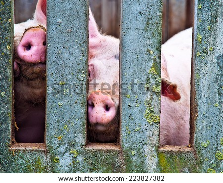 Pigs noses in a concrete fence on a farm - stock photo