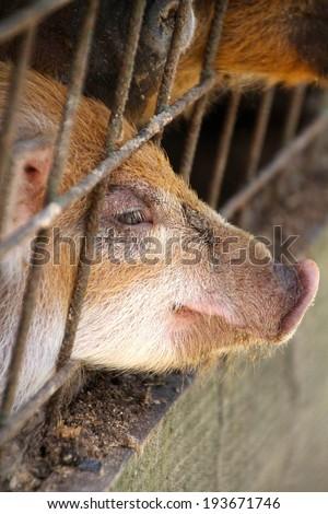 pigs on a livestock - stock photo