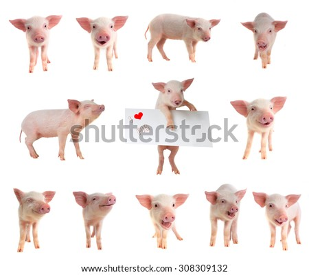 pigs on a white background. studio