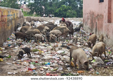 Pigs on street feeding in trash, Agra, India - stock photo