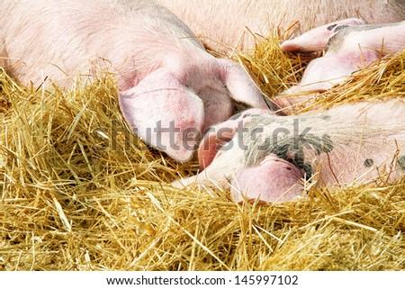 pigs sleeping on the straw - stock photo