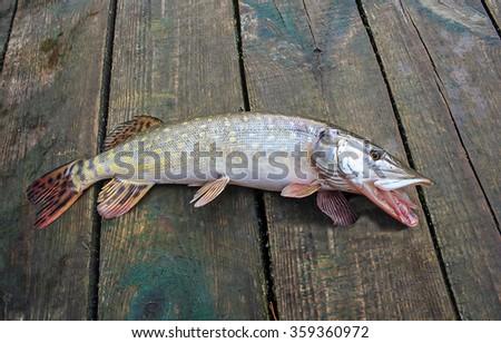 pike fish caught - stock photo