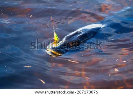 pike fishing big 10kg Northern fish - stock photo