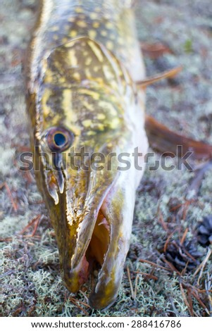 pike fishing big Northern fish Scandinavia Finnmark - stock photo