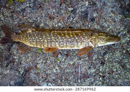 pike fishing in the North in Scandinavia - stock photo