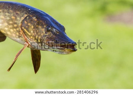Pike head - stock photo
