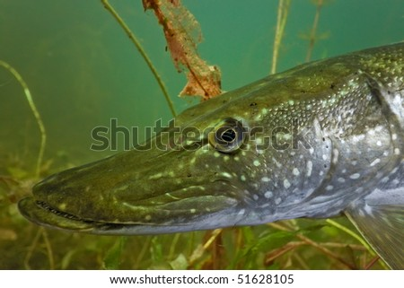 Pike head - stock photo