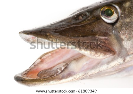 Pike head close-up, isolated over white - stock photo