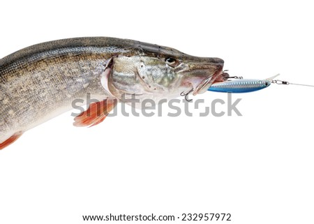 Pike with bait in mouth isolated on white background with clipping paths - stock photo