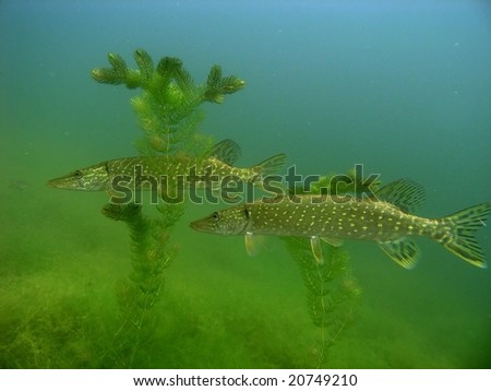 Pikes in the lake - stock photo
