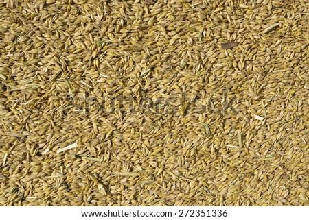 pile of barley grains - stock photo