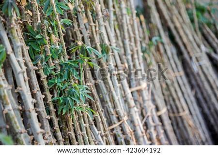 Pile of cassava trees on background - stock photo