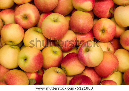 Pile of colorful organic apples during harvest time are ready for customers - stock photo