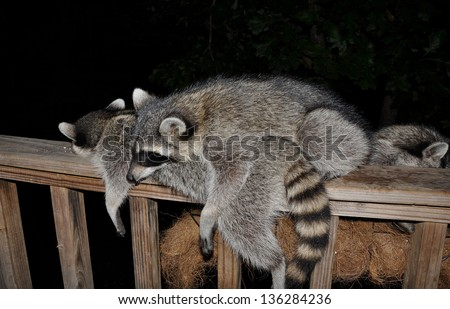 Pile of Coons on deck rail - stock photo