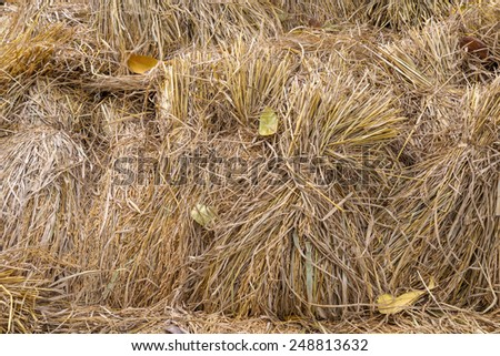 Pile of paddy bundle on the rice field after harvest. - stock photo