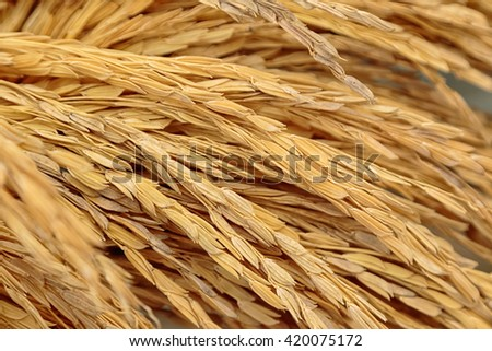 Pile of paddy in brown shell background - stock photo