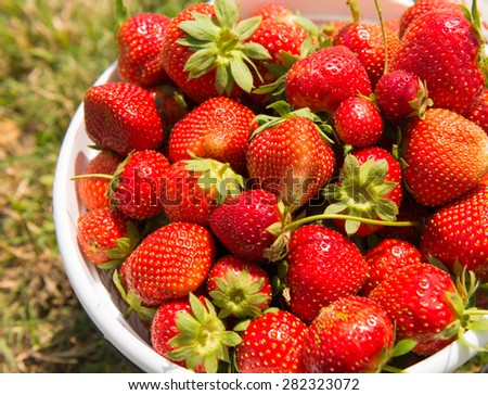 pile of red delicious freshly picked strawberry in white basket from the farm
