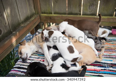 Pile of Small Terrier Mix Puppies Trying to Nurse on Their Mother