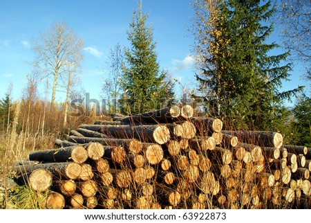 Pile of Spruce Logs and Spruce Trees - stock photo