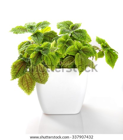 Pilea involucrata Moon Valley in a flower pot isolated on white background.