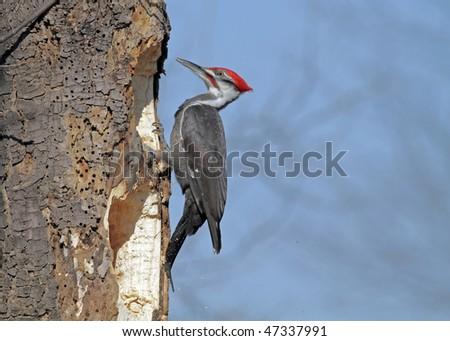 Pileated Woodpecker - stock photo