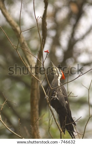 pileated woodpecker eating berries from a tree - stock photo