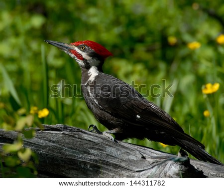 Pileated Woodpecker on Log - stock photo