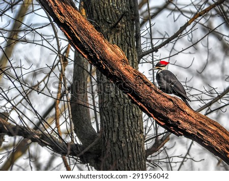 Pileated WoodPecker searching for food on a dead tree - stock photo