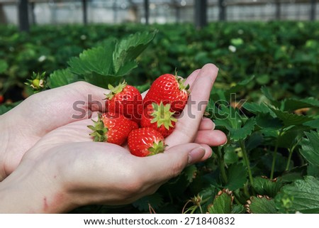 Piles of strawberries on palm of a hand - stock photo