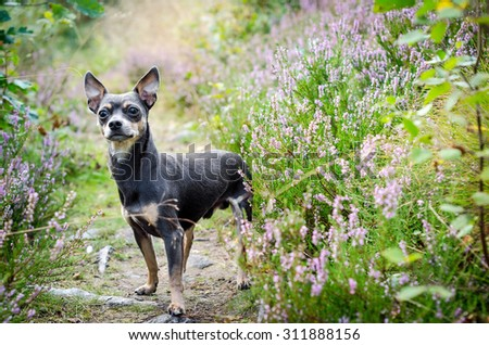 Pincher dog in forest - stock photo