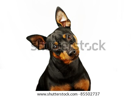 Pincher sitting in front of white background - stock photo