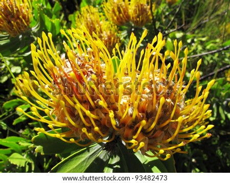 pincushion protea, national flower of south africa - stock photo