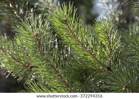 Pine after rain - stock photo