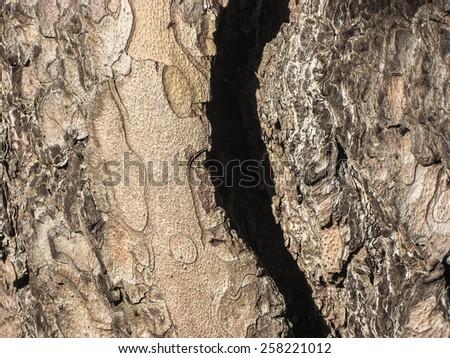 Pine bark (Pinus sylvestris) - stock photo