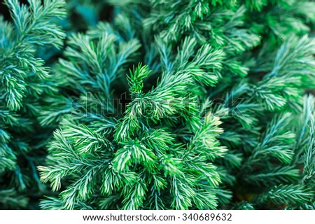Pine branch - stock photo