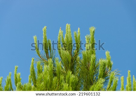 Pine branch against the blue sky. - stock photo