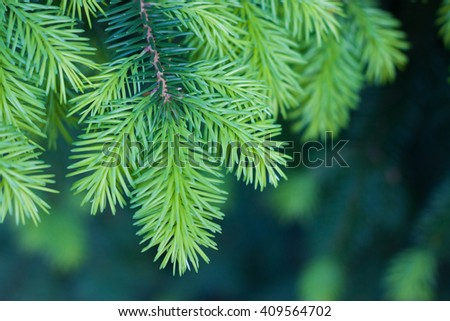 Pine branch close-up - stock photo