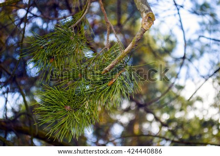 Pine branch close-up in the woods on blurred background - stock photo